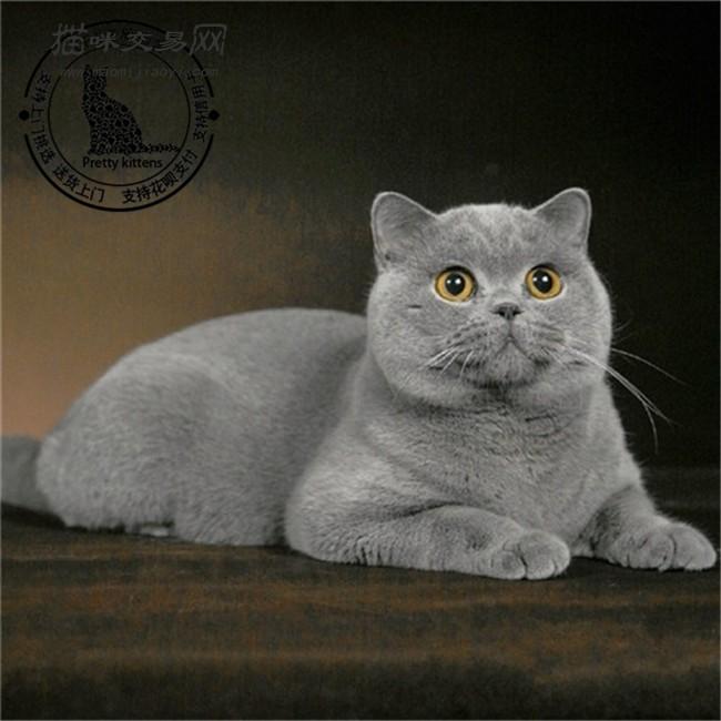 蓝猫宠物活体英国短毛猫纯蓝色纯种丁香色英短幼猫家养可爱小猫咪
